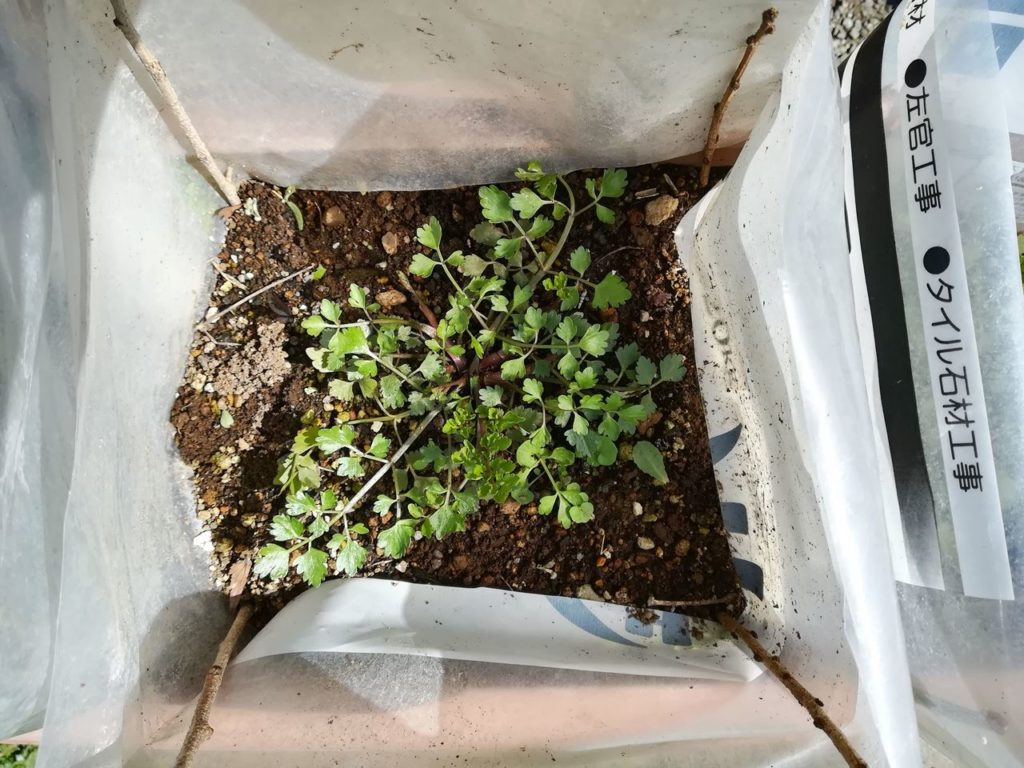 プランターで栽培したセリ 3月頃