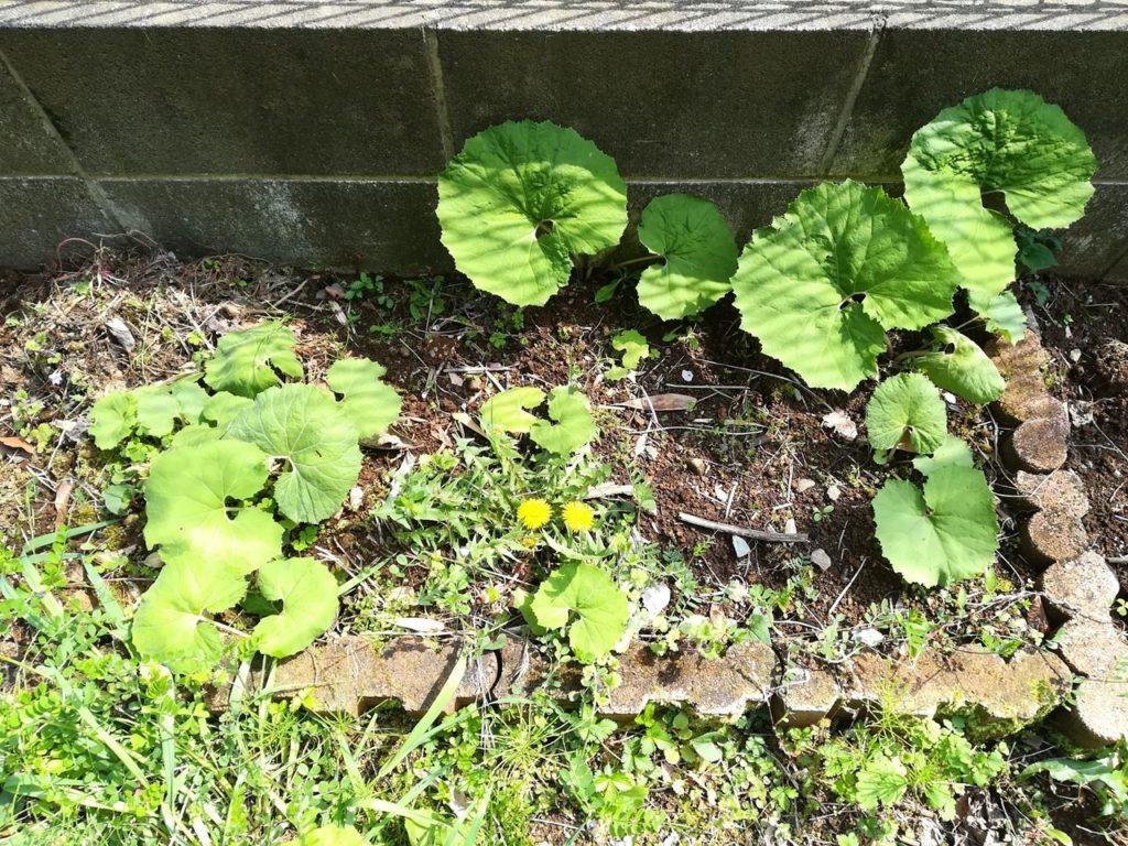 フキが植えてある花壇の写真