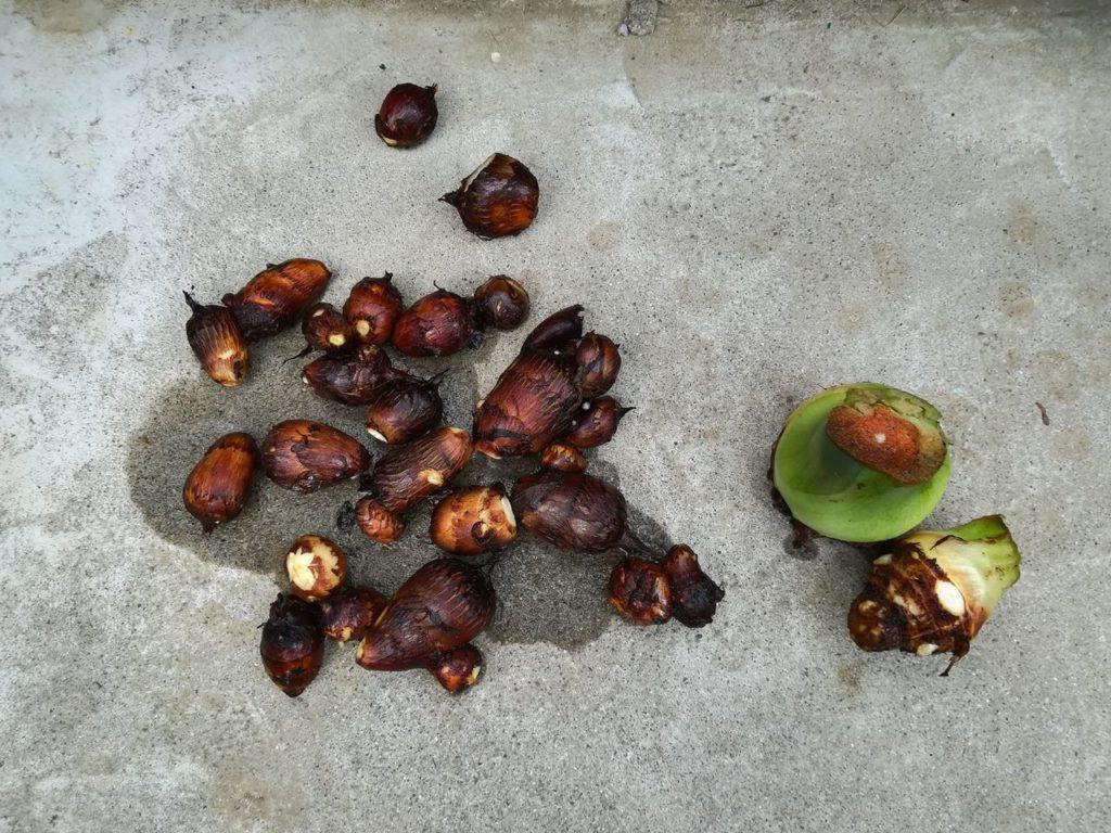 収穫できたサトイモ