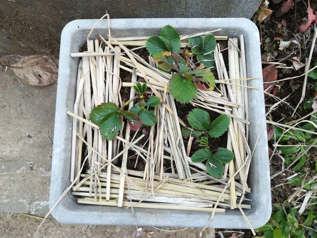 イチゴの鉢に敷き藁をしたところ