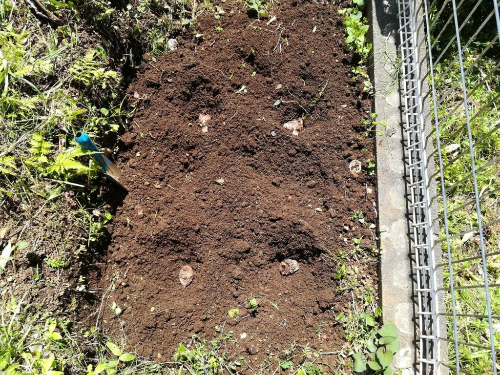 サトイモの種芋を植え付けたところ