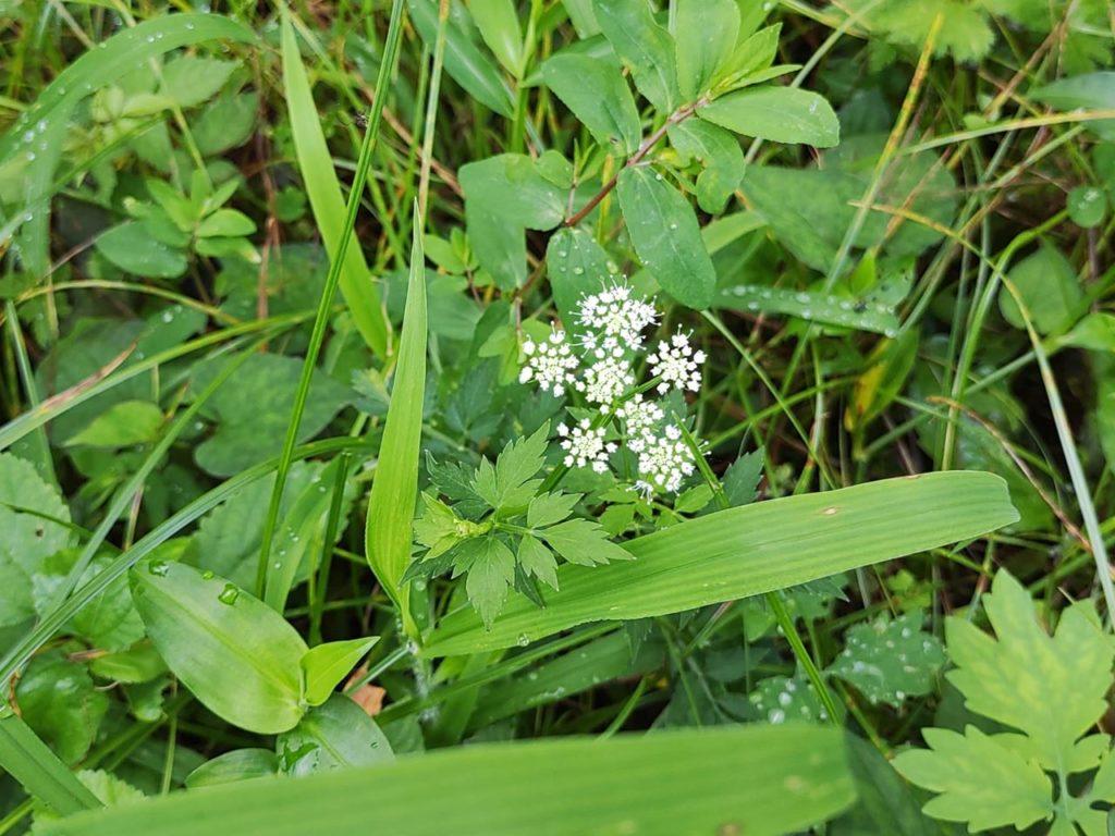 セリの花の写真